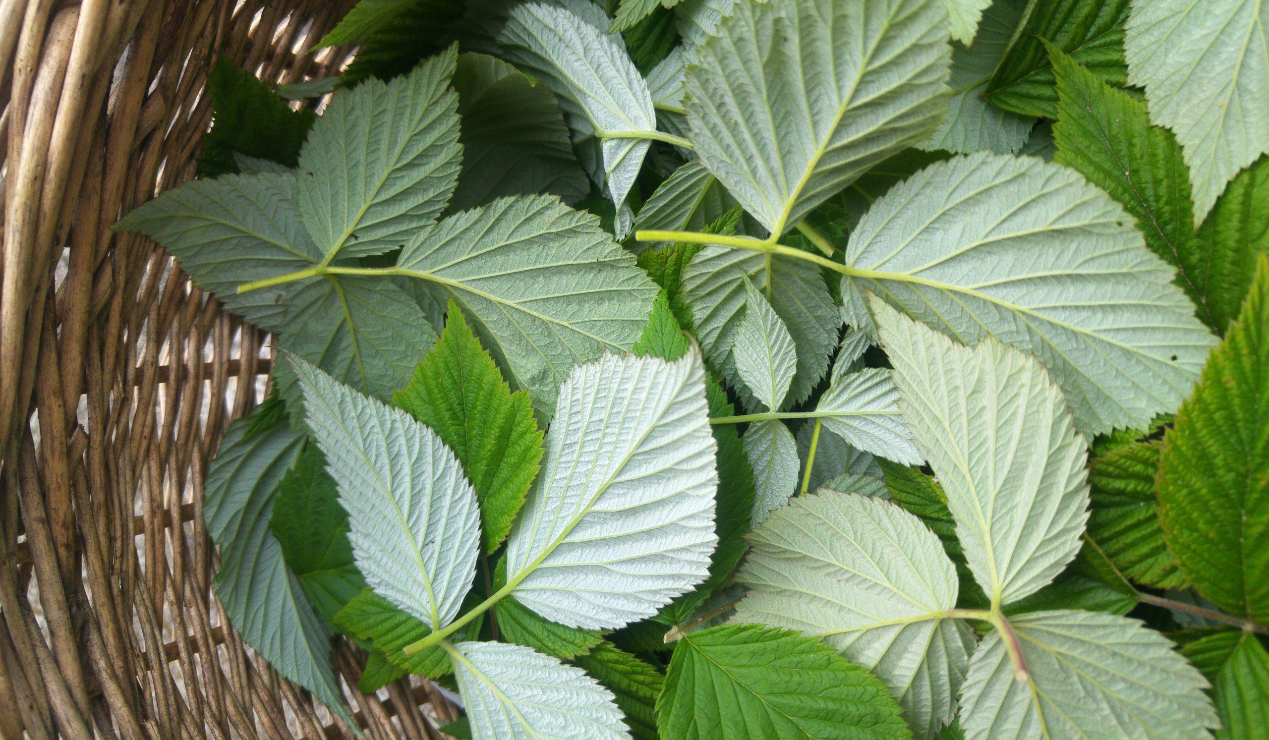 Quelles plantes pour apaiser la gastro-entérite?