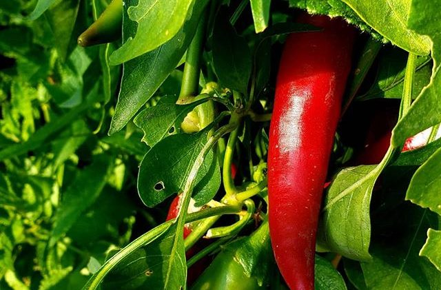 Le piment de Cayenne ou l'énergie du Feu